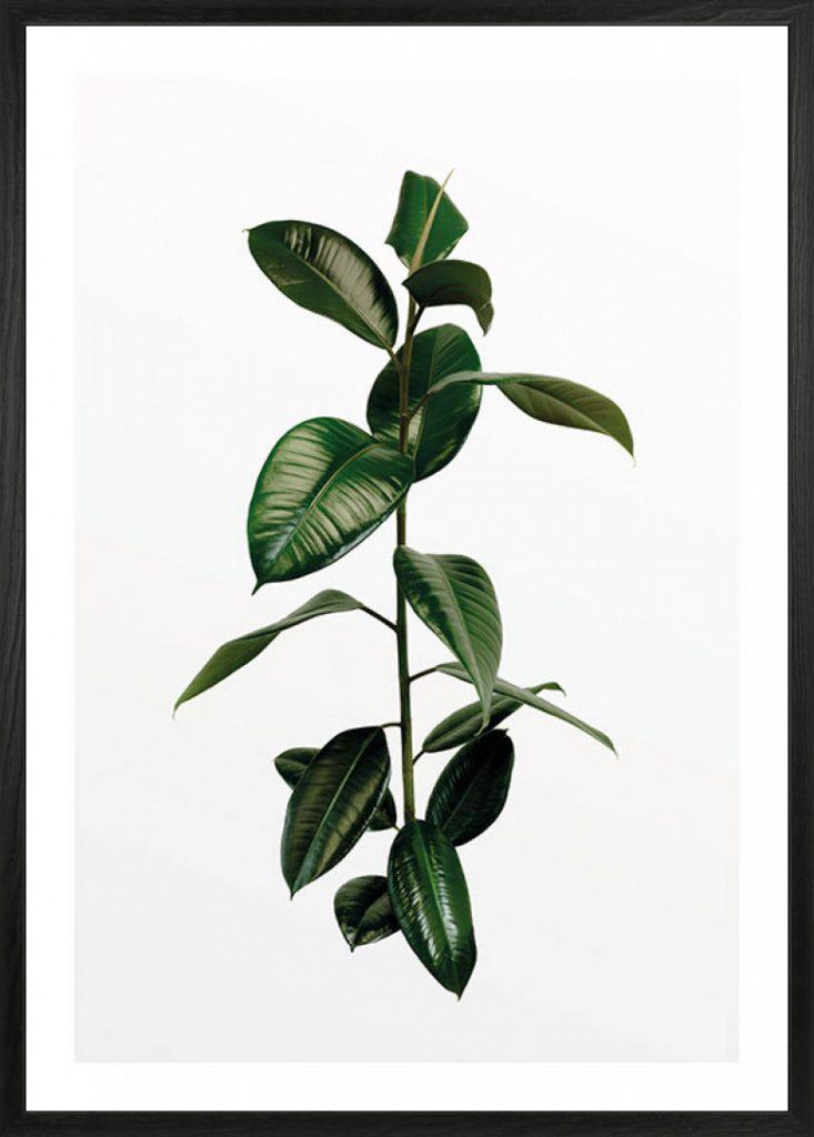 Galho de Ficus